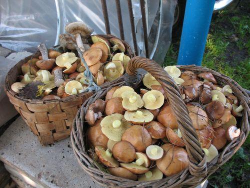 Свежие грибы в корзинках